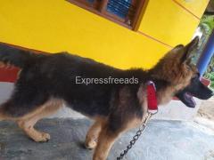German Shepherd For Sale In Channarayapatna Karnataka
