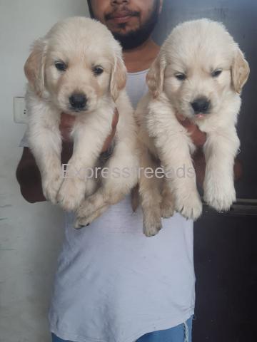 So cute Golden retriever puppies available..7300930479