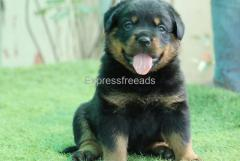 Rottweiler puppies available for new family..7300930479