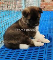 Lovely Akita puppies available for new homes..7300930479