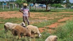 5 Sheeps For Sale Ramanagara District Karnataka