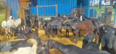We have nati goats available For Sale In Ramanagara DIstrict Karnataka