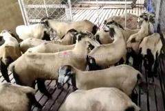 Nellore Jodipi Sheeps For Sale in Kanakapura Ramanagara district of Karnataka