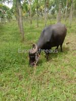 Buffalo for sale In Shimoga Karnataka