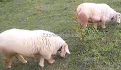 bannur sheep For sale In Nelamangala Karnataka
