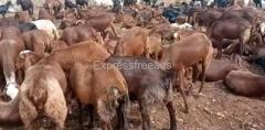 30 Sheeps For Sale In Koppal District Karnataka