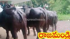 Pure murrah buffalo for sale in Rajmundry