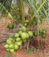 Malaysian Hybrid Dwarf Coconut Variety Plants