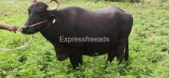 Surti Breed Buffalo available for sale in Madhugiri