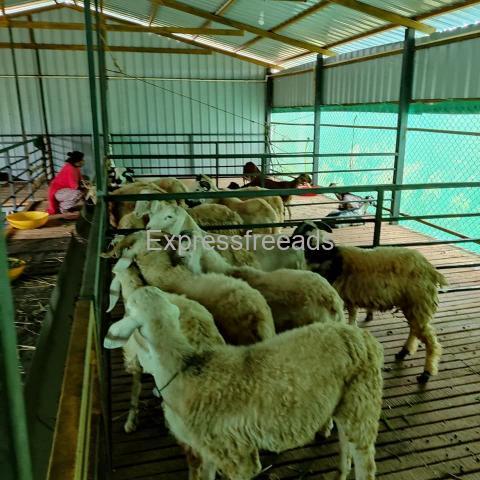 wholesale price Sheeps For Sale Nelamangala bangalore