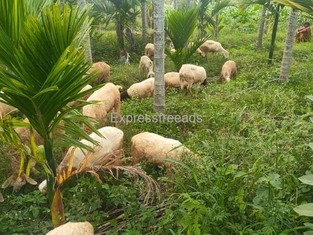 17 Nati Sheeps For Sale In Doddaballapur Taluk Karnataka