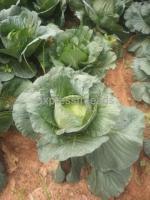 cabbage for sale in Near doddaballapur Karnataka