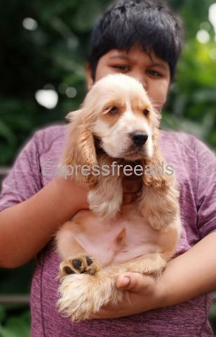 heavy size gold cocker male pup for loving homes in bangalore