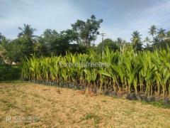 Tiptur Tall Coconut Plants For Sale In Devaraya Pattana Tumkur Karnataka