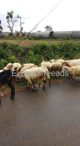17Nati Sheeps For Sale Mandya District Karnataka
