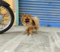 Mini pom fresh female Puppy For Sale In Bangalore