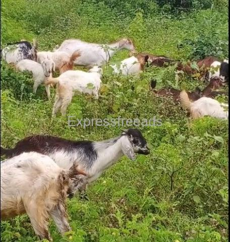 20 Pure Nati Goats For Sale Near Tumkur Karnataka