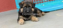 German shepherd puppy available for sale in Bangalore