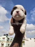 Shih Tzu female puppies are available for lovely homes  in Bangalore