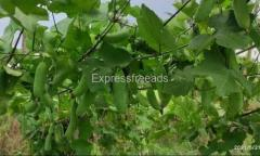 Donda plants ivy gourd Tindora available for Sale