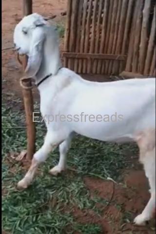 2 male 2 female Jamunapari goats for sale Tumkur Karnataka