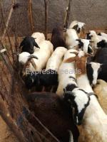 22 tagaru For Sale In Penukonda Anantapur District Andhra Pradesh