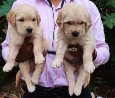 Extraordinary quality retriever puppies available in bangalore