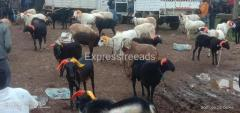 All breeds Of Goats And Sheeps For Sale In Kanakapura