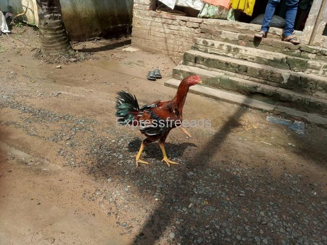 Kaki Dega breeder chicken for sale in Tanuku