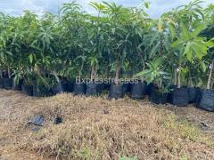 Best high yielding mango plants available for sale