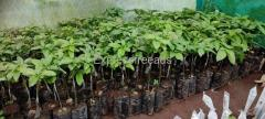 Avocado butter fruit grafted plants available For Sale In Madikeri Karnataka