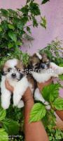2 Shih Tzu Female puppies available for sale in bangalore