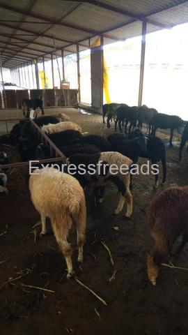 85 Nati Male Sheeps For Sale In Doddagubbi Bangalore