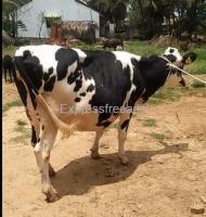 HF Cow For Sale In Mandya Karnataka