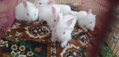 rabbits For Sale In Vijayawada Andhra Pradesh