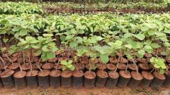 Kiwi Fruit Plants Sapling available in Kadiyapulanka