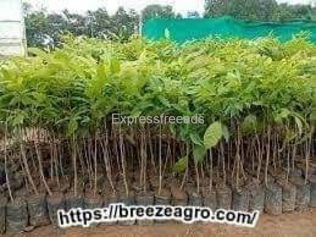 Mahogany plants supplier from Jabalpur