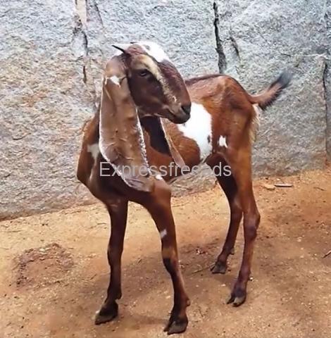 Beetal Goat For Sale In Madhugiri Tumkur District Karnataka