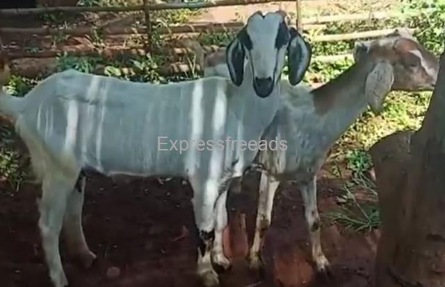 10 Pregnant Goats For Sale Railway Gollahalli Nelamangala Bangalore