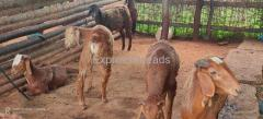 Six male sheep's for sale in Koratagere Taluk in Tumkur District