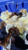 Day old chick(minimum order 100)