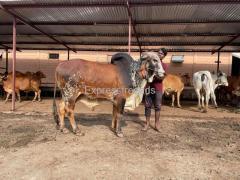 Gir Bull for sale in jalna Maharashtra