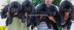 Newfoundland puppies available for show home  In Bangalore