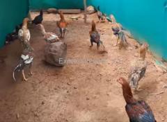 Fighter Chicken For Sale in nuzvid Andhra Pradesh
