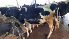 HF Cows For Sale In Karimnagar Telangana