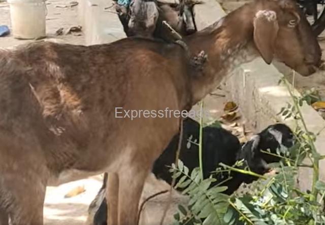 2 Goats For Sale In Doddaballapur Taluk Karnataka