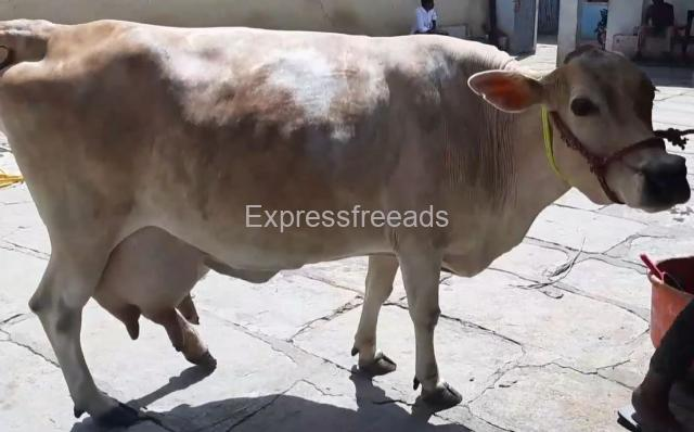 Jersey cow for sale In Punganur Chittoor District Andhra Pradesh