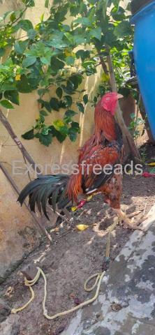 Rasangi dega big fight bird for sale in Vijayawada