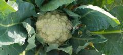 Cauliflower for sale In Kolar Karnataka