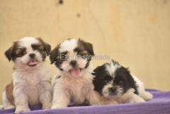 Shih Tzu male and female puppies are available for lovely homes  in Bangalore